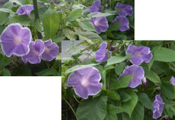 Morningglory0801