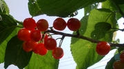 Cherrylast