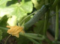 Cucumber0606