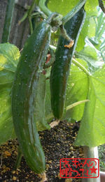 Cucumbersyukaku