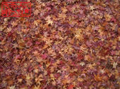 Fallen_leaves11281