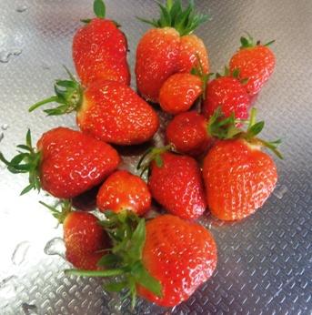お庭でとれたイチゴ